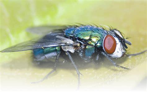 fly exterminator toronto hmg pest control exterminator