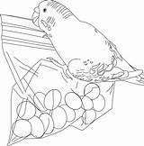 Coloring Parakeet Treats Bestcoloringpagesforkids Birds Bird Parakeets Printable Colours Sheets Goldfish sketch template