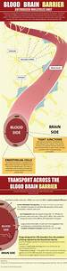 Blood Brain Barrier  Infographic
