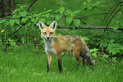 Red Fox  Back Yard Biology  Page 2