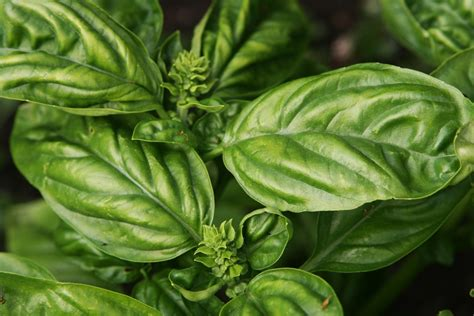 basil leaves pics growing basil how to grow basil plants in your garden