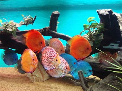 19 Jenis Ikan Hias 18 harga ikan hias terbaru 2018 berdasarkan jenis jenis ikan