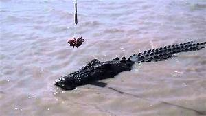 The gallery for --> Saltwater Crocodile Vs Great White ...