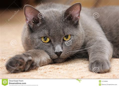 Karpet Max Ruse blue cat with yellow stock photo image