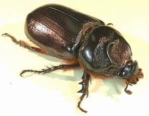 Fact sheet - Coconut rhinoceros beetle - Oryctes (108)