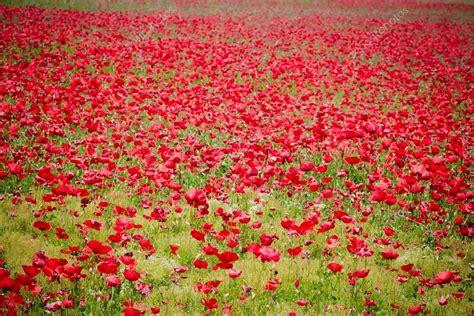 immagini prato fiorito prato fiorito di papaveri foto stock 169 donfiore1