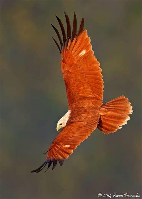 beginning birds  indian  pinterest
