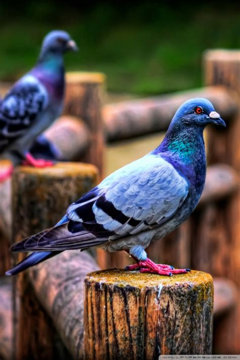 pigeons ultra hd desktop background wallpaper   uhd