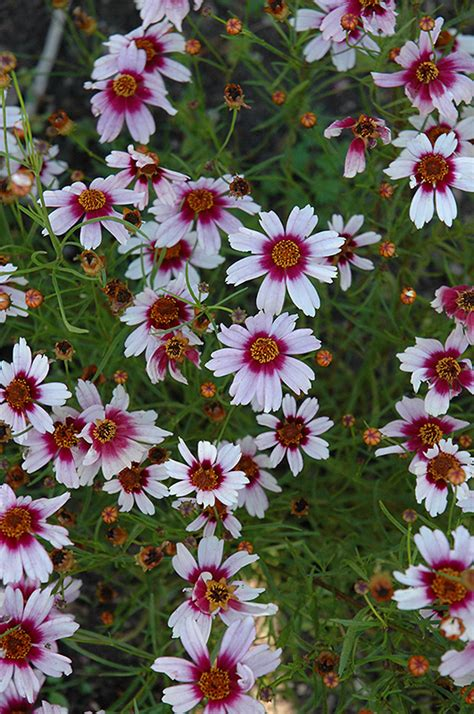 sweet dreams tickseed coreopsis rosea sweet dreams