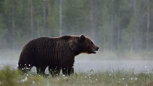 Behind The Image  The King Of The Taiga  Brown Bear
