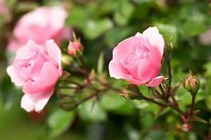 Hornspäne Für Rosen : gesunde rosen umweltbundesamt ~ Eleganceandgraceweddings.com Haus und Dekorationen
