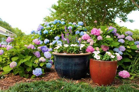care of hydrangeas in pots diy growing hydrangeas 4 how to grow hydrangea tutorial and care tips diy craft ideas