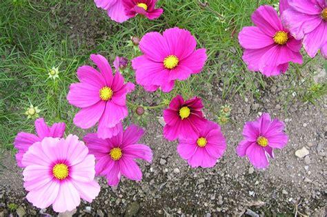 flowers all summer summer flower flowers that bloom all summer