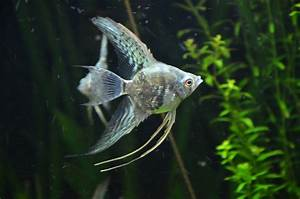 Freshwater Angelfish Tank Mates Hd Angelfish Pterophyllum ...