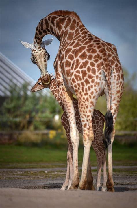 zoo chester giraffe rothschild calf pa cuteness year examiner rothschilds narus mum named week