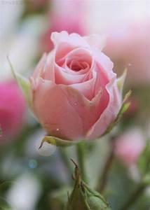 Lovely Little Pale Pink Rosebud