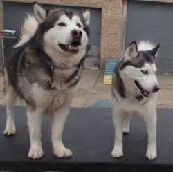 alaskan malamute dog breed information and images k9rl