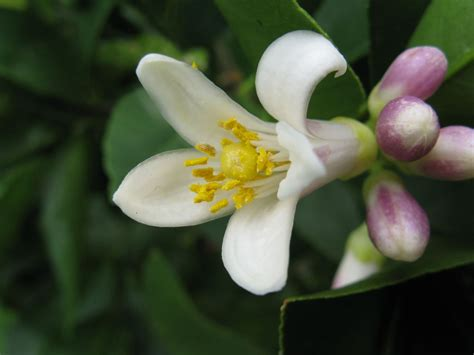 meyer lemon file citrus x meyeri flower jpg wikimedia commons