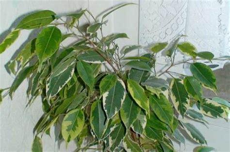 läuse auf zimmerpflanzen schildl 228 use bei garten und zimmerpflanzen
