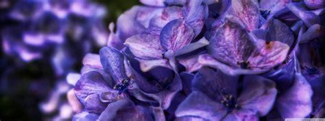 dreamy purple flower  hd desktop wallpaper   ultra