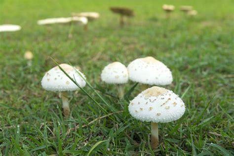 Pilze Im Rasen Anzeichen by Pilze Im Rasen Entfernen Und Vorbeugen