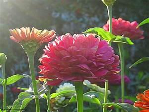 Download wallpaper Flowers, zinnias, summer, garden free ...
