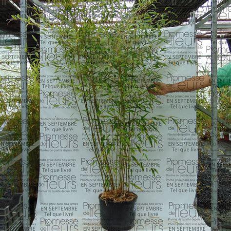 phyllostachys nigra boryana bambou g 233 ant