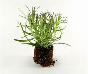 Lavendel Vermehren Wasserglas : lavendel vermehren diese m glichkeiten haben sie ~ Lizthompson.info Haus und Dekorationen