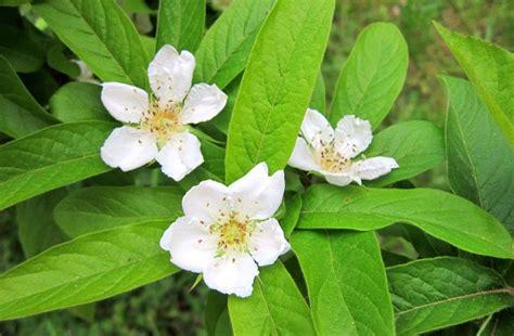 fiori di nespolo sterpaglie piccolo diario della biodiversita pagina 24