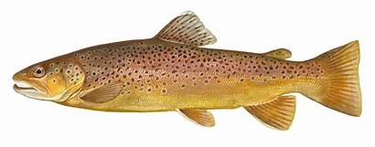 Trout Brown Background Rainbow Neat Course Hatcheries
