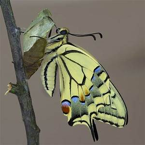 Bedeutung Schmetterling In Der Wohnung : der schwalbenschwanz ist geschl pft die geschichte einer raupe foto bild tiere wildlife ~ Watch28wear.com Haus und Dekorationen