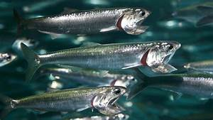 Northern anchovy, Coastal Waters, Fishes, Engraulis mordax ...