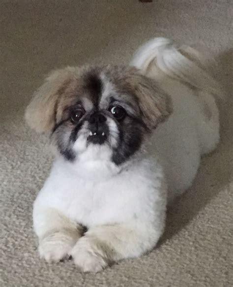 pekingese grooming cuts images  pinterest dogs