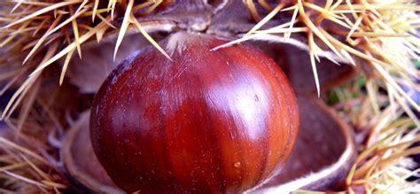 marrone tipica castagna  caprese michelangelo