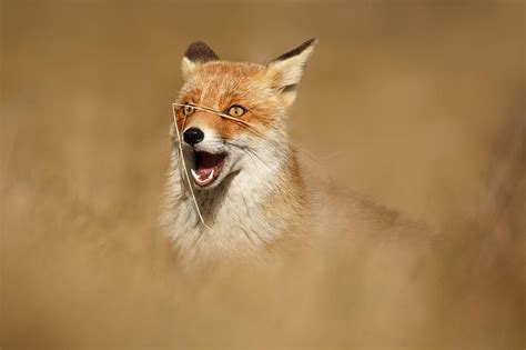 funny fox photograph by roeselien raimond