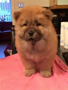Chow chow puppies for sale   Gateshead, Tyne and Wear ...