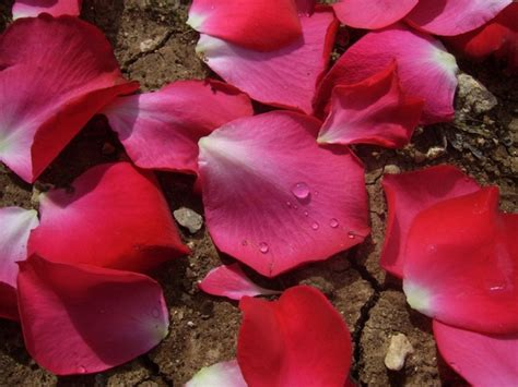 heart rose petals  stock