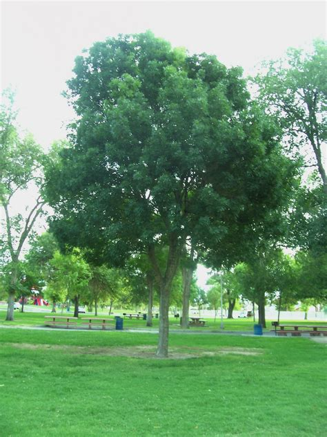 evergreen deciduous trees vs push pistache