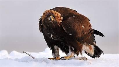 Eagle Golden Cool Bird Eagles Snow Birds