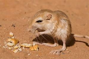 """""""Desert Rat"""" by Craig Hender Redbubble"""