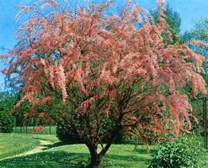 Petit Arbre Persistant : arbuste ornement ~ Melissatoandfro.com Idées de Décoration