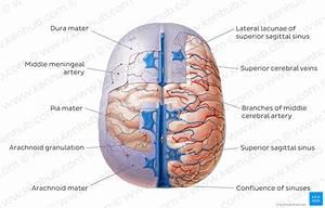Diagram    Pictures  Meninges Of The Brain  Anatomy