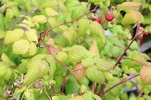 Wann Himbeeren Pflanzen : himbeeren pflege himbeeren fruchtansatz himbeeren ~ Lizthompson.info Haus und Dekorationen