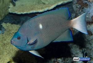 Clipperton Angelfish Still Going Strong at the Aquarium of ...