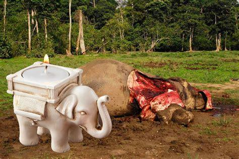corne cuisine la chine s offre l ivoire braconné africain