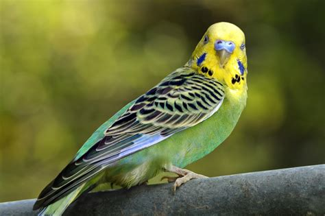 budgie bird parakeets and budgies species profile