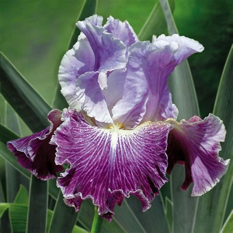 6100 best images about iris on bearded iris