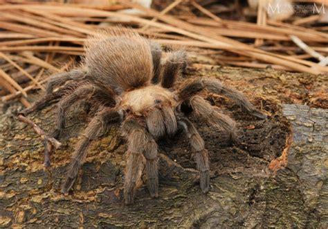 texas brown tarantula aphonopelma hentzi inaturalistorg