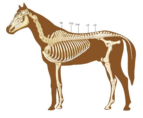 horse trot rising kinematics equine during vertebrae horses skeletal which