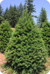 opinions on douglas fir
